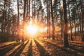 Beautiful Sunset Sunrise Sun Sunshine In Sunny Autumn Coniferous Forest. Sunlight Sunbeams Through Woods In Forest Landscape