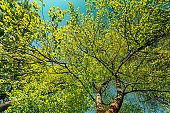 Spring Canopy Of Tree. Deciduous Forest, Summer Nature At Sunny Day. Upper Branches Of Tree With Fresh Green Foliage. Low Angle View
