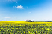 Clear SkyAbove Rural Landscape. Grove In Camola Colza Rapeseed Field. Agricultural Spring Field
