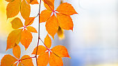 Red autumn leaves. Autumn nature background with bokeh. Copy space
