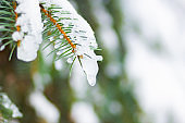 Background with snow-covered fir branches. Christmas winter snowy background with spruce branch. New Year background with copy space