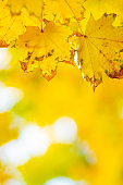 Maple leaves in autumn forest. Tree branch with autumn leaves. Yellowed maple leaves on a blurred background. Autumn nature background with bokeh. Very shallow focus