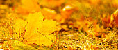 Autumn season leafs. Fallen maple leaves in the forest. Golden maple leaf on blurred yellow background. Autumn concept