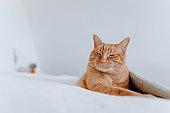 Ginger cat lying on bed