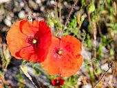 Macro view of two wild poppy flowers Papaver rhoeas