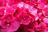 Bougainvillea wet flowers natural pattern – flowerbed garden relaxing landscape