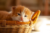 ginger small kitten sleep in a basket