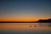 Geese swimming on a lake at dusk