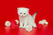 Small, white British kitten