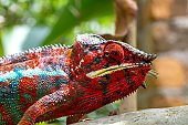 Colorful chameleon on a branch in a national park on the island of Madagascar