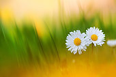 Beautiful summer nature background with pair daisy flowers in green grass in sunlight. Artistic toned image, macro amazing environment landscape.