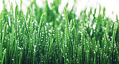 Fresh young green grass with dew drops. Beautiful nature landscape with water droplets.