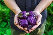 Organic vegetables. Healthy food. Fresh organic purple pepper in farmers hands. Gardening or harvest concept