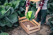Farmer picking cabbage and putting into wooden crate