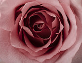 Floral background with beautiful gentle pink rose close up. Fresh rose macro .