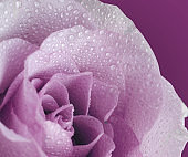 Floral background with beautiful gentle lilac rose close up. Fresh rose in the dewdrops macro.