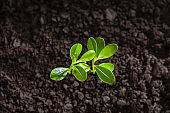 Little green seedlings growing in soil