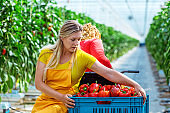 Two female workers in a Paprika Greenhouse in Holland