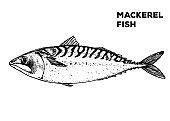 Mackerel fish sketch. Hand drawn vector illustration. Seafood design element for packaging. Engraved style illustration. Can used for packaging design. Mackerel fish label.