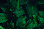 abstract green leaf texture, nature background, tropical leaf, green leaf