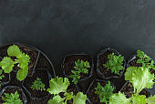 Seedlings. Young tomato sprouts in container in pots on black table.
