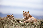 Lionesses relaxing in the wild.