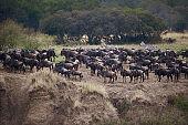 Wildebeest annual migration!