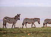 Group of zebras walking in nature.