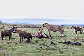 Lionesses eating their pray around hungry hyenas.
