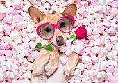valentines wedding dog in love wit rose