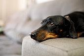 Dachshund lying down sofa's arm