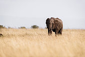 African elephant walking in the wild.