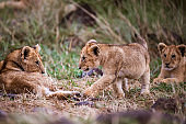 Group of lion cubs in the wild.