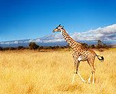 Adult giraffe over Kilimanjaro mountain in Kenya