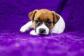 beautiful calm puppy bitch jack russell terrier lies on a purple bedspread with his foot up,
