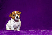 Cute puppy female Jack Russell Terrier sits on a purple bedspread nearby. Violet background. Puppy food