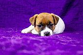 beautiful calm puppy bitch jack russell terrier lies on a purple bedspread,