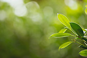 Closeup nature view of green leaf in the beams of sunlight. Natural green plants landscape, ecology, fresh wallpaper concept.