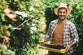 Farmer harvesting blackberries on the field.