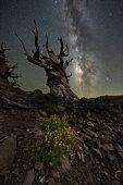 Milky Way Galaxy rising behind Ancient Bristlecone Pine Tree in California