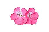 Pink flower of Geranium, (Pelargonium) Isolated on white background