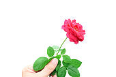 Man's hand holding red rose isolated on white background