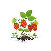 Garden strawberry bush plant with large red ripe berries. Growing in the soil. Fragaria moschata. Harvest. Vector.