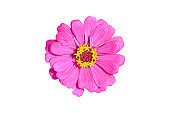 Purple Zinnia flower isolated on white background with clipping path.