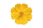 Beautiful yellow cosmos flower (Coreopsideae) Isolated on white background.