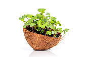 Microgreen sprouts raw sprouts, healthy eating concept in coconut. Fresh natural organic product