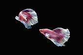 Two dancing pink white dumbo, big ear halfmoon betta fish siamese isolated on black color background.