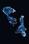Two dancing of betta siamese fighting fish (Halfmoon Rosetail in white blue color) isolated on black background.