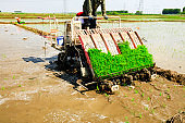Farmers planting rice in field by using rice planting machine