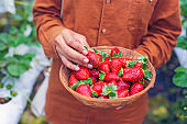 A worker picking a fresh strawberry at farm.